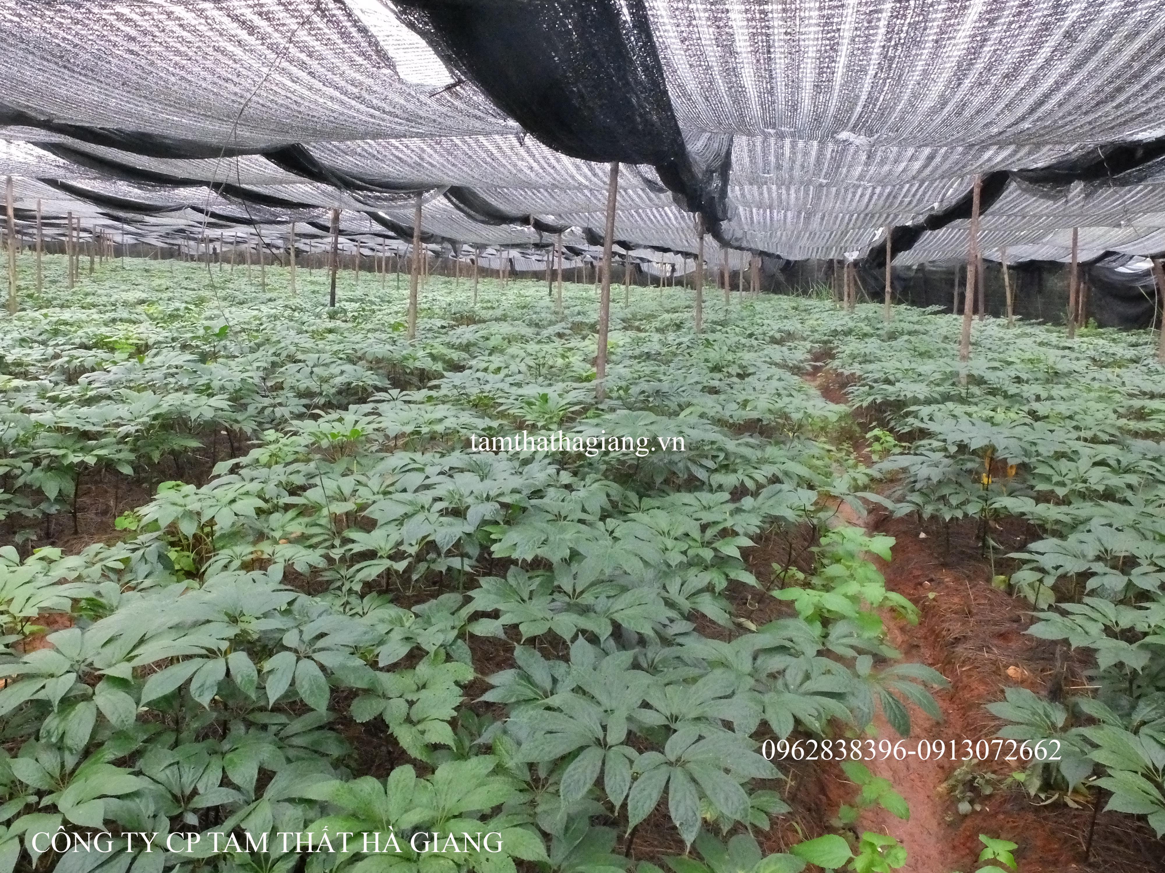 Tam thất xịn được trồng trong môi trường an toàn, chăm sóc đúng kỹ thuật.