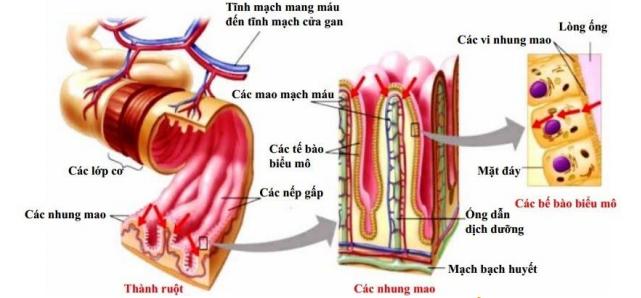 Tam thất được hấp thụ trực tiếp trên thành ruột nên có tác dụng rất nhanh