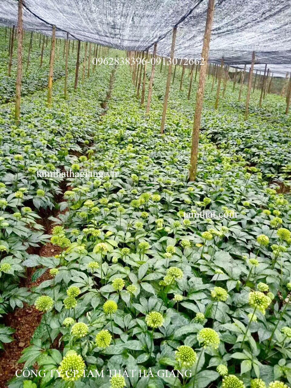 Vườn tam thất đang ra hoa của công ty cp Tam Thất Hà Giang